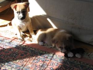 Puppies 005